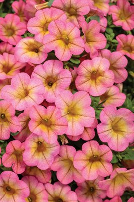 Millionbells - Calibrachoa Honeyberry